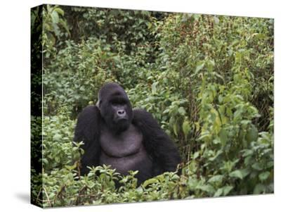 Silverback Mountain Gorilla, Amongst Vegetation, Zaire-Staffan Widstrand-Stretched Canvas Print