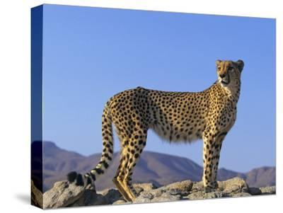 Portrait of Standing Cheetah, Tsaobis Leopard Park, Namibia-Tony Heald-Stretched Canvas Print
