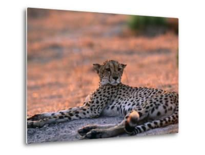 Cheetah Resting, Okavango Delta, Botswana-Pete Oxford-Metal Print