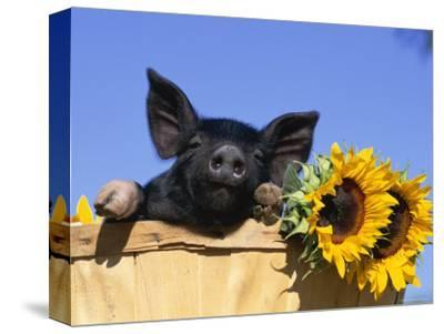 Piglet (Mixed Breed) in Barrel with Sunflower-Lynn M^ Stone-Stretched Canvas Print