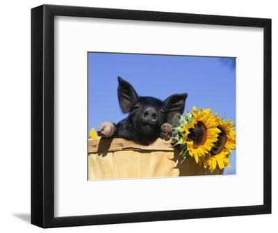 Piglet (Mixed Breed) in Barrel with Sunflower-Lynn M^ Stone-Framed Premium Photographic Print