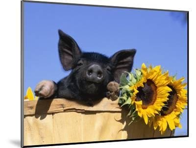 Piglet (Mixed Breed) in Barrel with Sunflower-Lynn M^ Stone-Mounted Premium Photographic Print