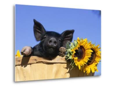 Piglet (Mixed Breed) in Barrel with Sunflower-Lynn M^ Stone-Metal Print