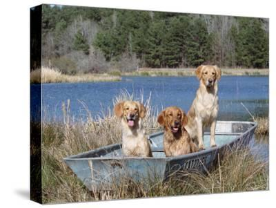 Golden Retrievers in Boat, USA-Lynn M^ Stone-Stretched Canvas Print