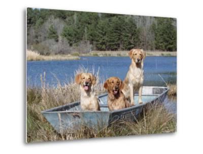 Golden Retrievers in Boat, USA-Lynn M^ Stone-Metal Print