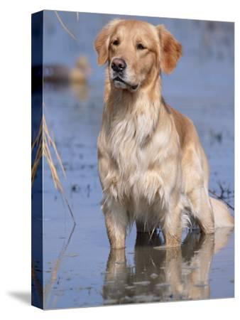 Golden Retriever in Water, USA, North America-Lynn M^ Stone-Stretched Canvas Print