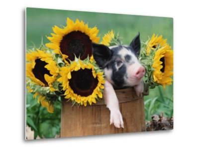 Mixed-Breed Piglet in Basket with Sunflowers, USA-Lynn M^ Stone-Metal Print