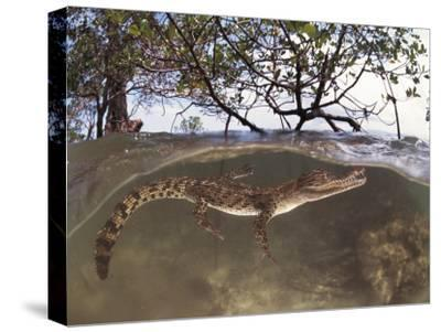 Juvenile Saltwater Crocodile, Amongst Mangroves, Sulawesi, Indonesia-Jurgen Freund-Stretched Canvas Print