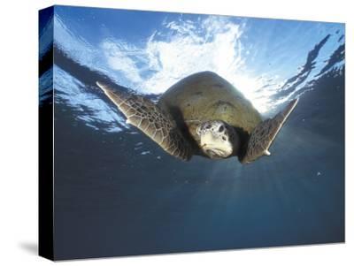Green Turtle Swimming, Sulu-Sulawesi Seas, Indo Pacific Ocean-Jurgen Freund-Stretched Canvas Print