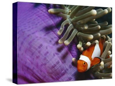 False Clown Anemonefish in Anemone Tentacles, Indo Pacific-Jurgen Freund-Stretched Canvas Print