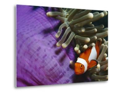 False Clown Anemonefish in Anemone Tentacles, Indo Pacific-Jurgen Freund-Metal Print