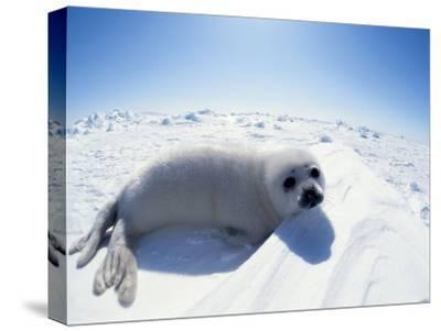 Harp Seal Pup on Ice, Magdalen Is, Canada, Atlantic-Jurgen Freund-Stretched Canvas Print
