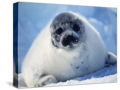 Harp Seal Pup on Ice at Start of Moult, Magdalen Is, Canada, Atlantic-Jurgen Freund-Stretched Canvas Print
