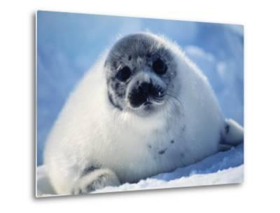 Harp Seal Pup on Ice at Start of Moult, Magdalen Is, Canada, Atlantic-Jurgen Freund-Metal Print