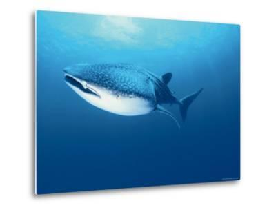 Whale Shark, Indo Pacific-Jurgen Freund-Metal Print