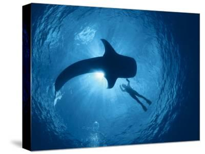 Whale Shark and Person Swimming in Silhouette, Indo Pacific-Jurgen Freund-Stretched Canvas Print