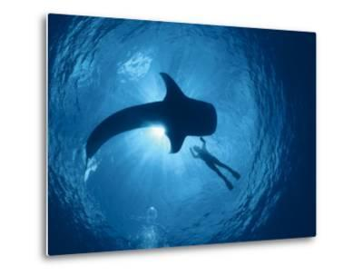 Whale Shark and Person Swimming in Silhouette, Indo Pacific-Jurgen Freund-Metal Print