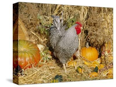 Dominique Breed of Domestic Chicken, Cock with Vegetables., USA-Lynn M^ Stone-Stretched Canvas Print