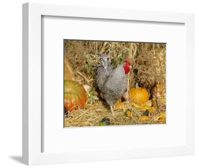 Dominique Breed of Domestic Chicken, Cock with Vegetables., USA-Lynn M^ Stone-Framed Premium Photographic Print