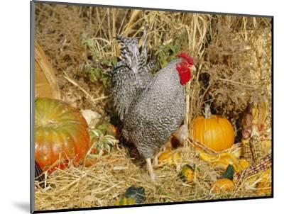 Dominique Breed of Domestic Chicken, Cock with Vegetables., USA-Lynn M^ Stone-Mounted Premium Photographic Print