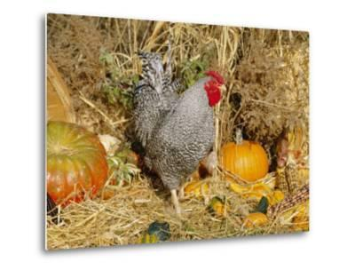 Dominique Breed of Domestic Chicken, Cock with Vegetables., USA-Lynn M^ Stone-Metal Print