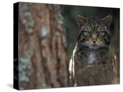 Wild Cat in Pine Forest, Cairngorms National Park, Scotland, UK-Pete Cairns-Stretched Canvas Print