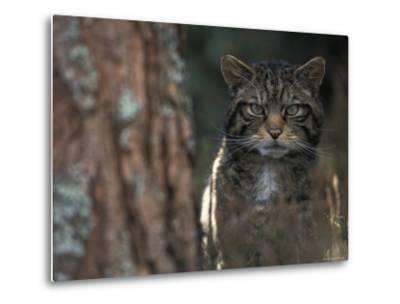 Wild Cat in Pine Forest, Cairngorms National Park, Scotland, UK-Pete Cairns-Metal Print
