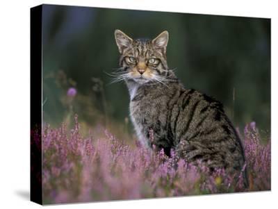 Wild Cat Portrait Amongst Heather, Cairngorms National Park, Scotland, UK-Pete Cairns-Stretched Canvas Print