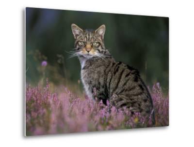 Wild Cat Portrait Amongst Heather, Cairngorms National Park, Scotland, UK-Pete Cairns-Metal Print