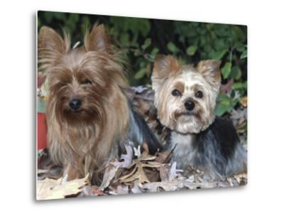 Yorkshire Terrier Dogs, One Clipped, Illinois, USA-Lynn M^ Stone-Metal Print