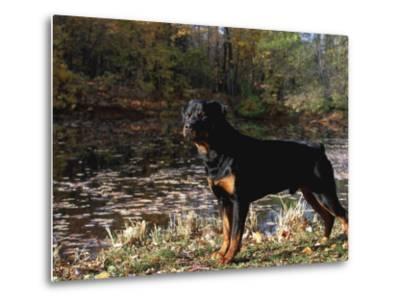 Rottweiler Dog, Illinois, USA-Lynn M^ Stone-Metal Print