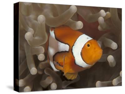 False Clown Anemonefish, in Anemone, Indo-Pacific-Jurgen Freund-Stretched Canvas Print