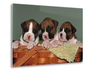 Three Boxer Puppies, USA-Lynn M^ Stone-Metal Print