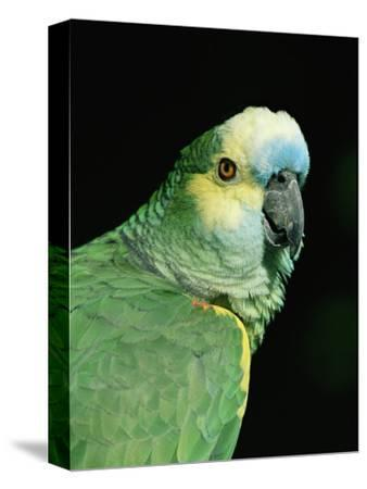 Blue Fronted Amazon Parrot-Lynn M^ Stone-Stretched Canvas Print