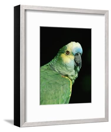 Blue Fronted Amazon Parrot-Lynn M^ Stone-Framed Premium Photographic Print