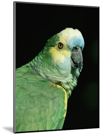 Blue Fronted Amazon Parrot-Lynn M^ Stone-Mounted Premium Photographic Print