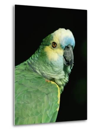 Blue Fronted Amazon Parrot-Lynn M^ Stone-Metal Print