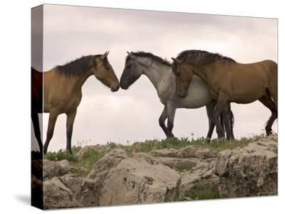 Mustang / Wild Horse Red Dun Stallion Sniffing Mare's Noses, Montana, USA Pryor-Carol Walker-Stretched Canvas Print
