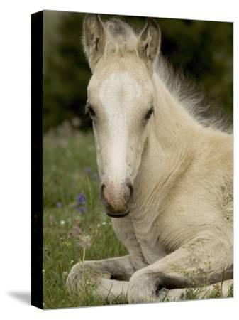 Mustang / Wild Horse Filly Portrait, Montana, USA Pryor Mountains Hma-Carol Walker-Stretched Canvas Print