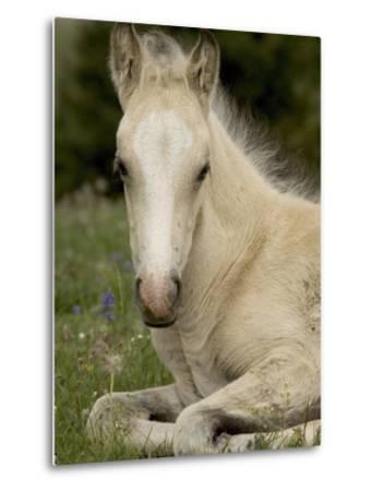Mustang / Wild Horse Filly Portrait, Montana, USA Pryor Mountains Hma-Carol Walker-Metal Print
