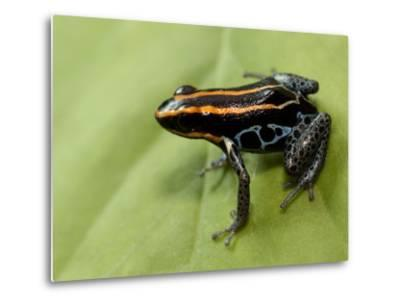 Poison Arrow Frog, Yasuni National Park, Ecuador-Pete Oxford-Metal Print
