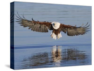 African Fish Eagle Fishing, Chobe National Park, Botswana-Tony Heald-Stretched Canvas Print