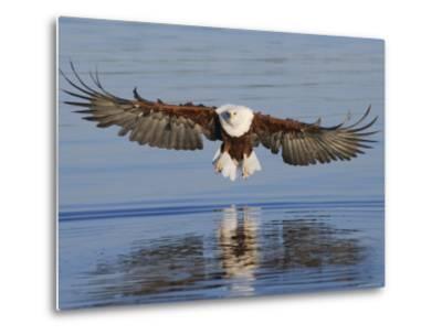 African Fish Eagle Fishing, Chobe National Park, Botswana-Tony Heald-Metal Print