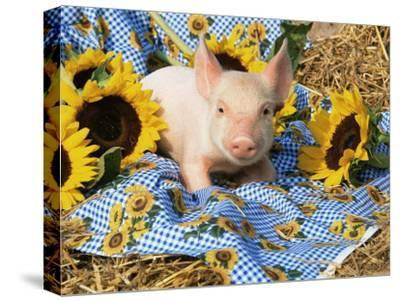 Domestic Piglet and Sunflowers, USA-Lynn M^ Stone-Stretched Canvas Print