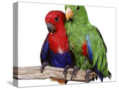 Young Eclectus Parrots, Female Left, Male Right, 12-Wks-Old-Jane Burton-Stretched Canvas Print