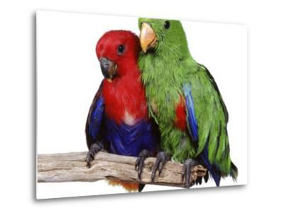Young Eclectus Parrots, Female Left, Male Right, 12-Wks-Old-Jane Burton-Metal Print