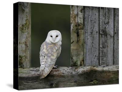 Barn Owl, in Old Farm Building Window, Scotland, UK Cairngorms National Park-Pete Cairns-Stretched Canvas Print