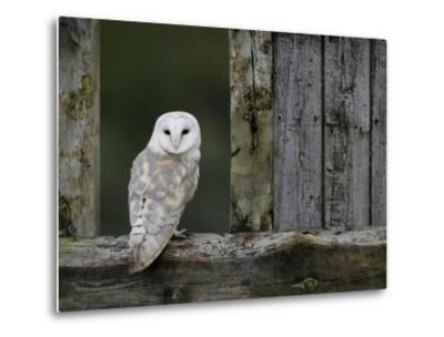 Barn Owl, in Old Farm Building Window, Scotland, UK Cairngorms National Park-Pete Cairns-Metal Print