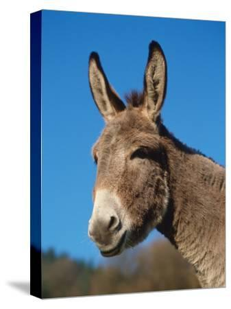 Domestic Donkey Head Portrait, Europe-Reinhard-Stretched Canvas Print