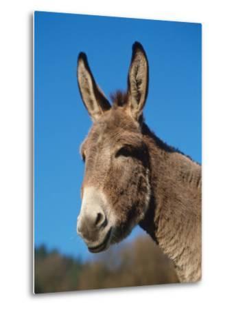 Domestic Donkey Head Portrait, Europe-Reinhard-Metal Print